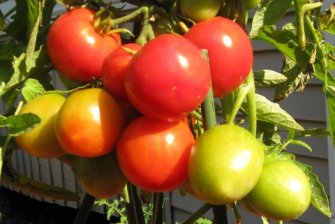 Maybrooke House—Tomatoes